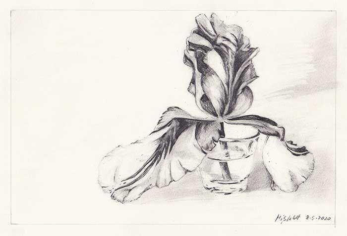 Bleistiftzeichnung Tulpe