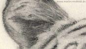 Tiger-Ohr, Zeichnung Detail 1