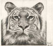 Tiger Zeichnung