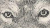 Bleistiftzeichnung: die Augen des Wolfes (Detail 2)