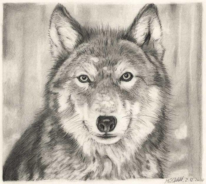 Wolf Bleistiftzeichnung