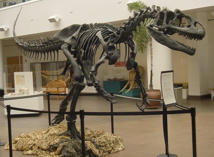 Allosaurier-Skelett im Museum