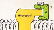 Rhodopsin aktiviert GDP - Schaubild-Malerei