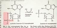 6: Guanosin-5-monophosphat