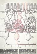 Gehirn und Auge - Sehbahn