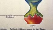 synaptische Endung am Zapfen