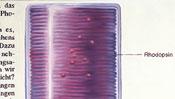 Rhodopsin in der Stäbchen-Zelle der Netzhaut