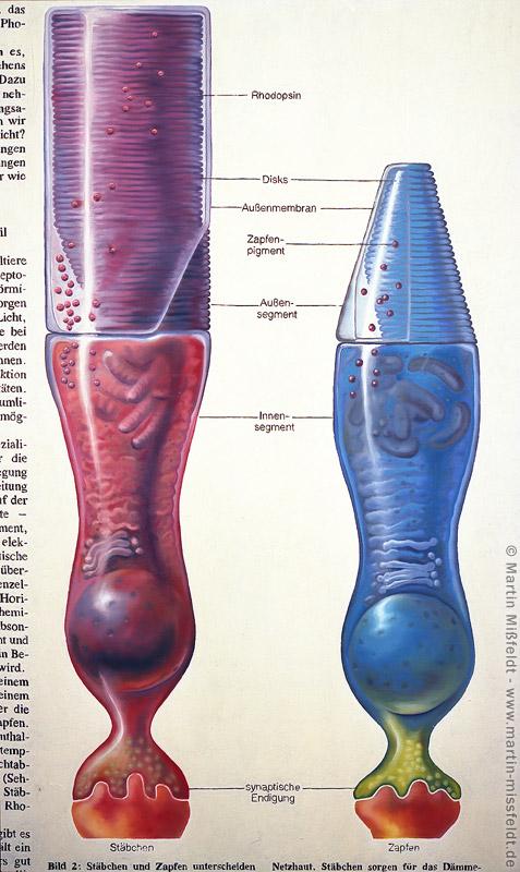 Ölbild: Stäbchen und Zapfen
