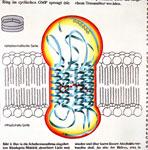 Rhodopsin-Molekül