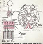 6: Sehbahn im Gehirn – Aufschnitt