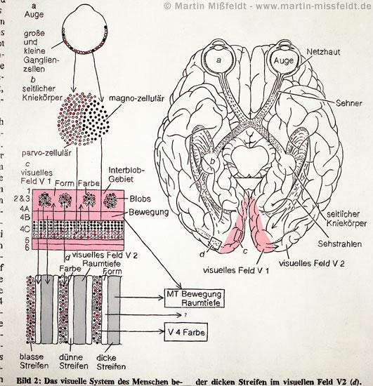 Sehbahn im Gehirn – Aufschnitt